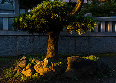 #294 Tree at dusk (tokyobogue) Tags: 365project japan kawaguchi arakawa river riverbank nikon nikond7100 d7100 sigma sigma1750mmexdcoshsm trees tree shadows sunbeams sunset hikawashrine hikawajinja shrine