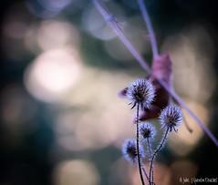 Bokeh (Quentin Douchet) Tags: flore macrophotographie nature plante bokeh closeup colorful colors couleurs fleur flora flower light lumière macro macrophoto plant proxiphoto