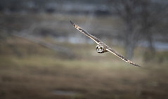 Nisqually Airshow (TW Olympia) Tags: short eared owl nisqually national wildlife refuge
