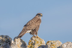 Buzzard (Linda Martin Photography) Tags: dorset wildlife buteobuteo nature bird birds portlandbill uk buzzard naturethroughthelens coth5 ngc alittlebeauty specanimal npc
