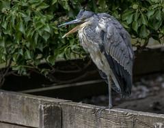 chatterbox (Yvonne Alderson) Tags: fishing heron grey