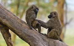 So human... (paolo_barbarini) Tags: apes animals mammals nature wildlife kenya nakuru africa safari baboons babbuini scimmie primati