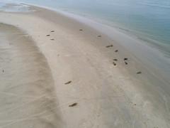 Seal sand bank Ameland