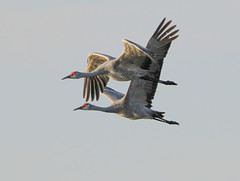 Going to Merced National Wildlife Refuge Fall 2018 (Atascaderocoachsam) Tags: antigonecanadensis gruscanadensis sandhillcrane