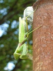 Spawning of mantis (Jussi Salmiakkinen (JUNJI SUDA)) Tags: spawning mantis nature suginami tokyo tokio japan japani 2018 auumn fall september syyskuu outdoor cityscape steelpipe