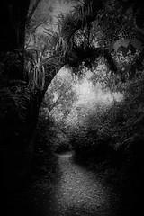 Senderos de ensueño ll (alestaleiro) Tags: mono monochrome yunga tucumán horcomolle selva sendero path pathway trilha jungle jungla tree dream ensueño bw monocromo blackwhite bianconero alestaleiro alejandroolivera alejandrooliveraphotography argentina