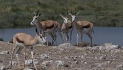 Spingbok ( Philippe L PhotoGraphy ) Tags: afrique namibie oshikotoregion na afric philippelphotography rapace oiseaux elephan réserve pentax k1