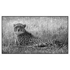 Kenyan Cheetah (Thomas Kirschenmann) Tags: africa safari kenya cheetah maasai mara reserve bw blackandwhite kichwatembo kichwa tembo nikon nikonwildlife d750 300mm animal portrait