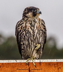 Peregrine falcon (ireworks11) Tags: birdingphotography birding birds bird raptor falcon peregrine