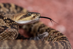 Black-Tailed Rattlesnake (Crotalus molossus) (Chad M. Lane) Tags: santacruzcounty santa cruz county arizona wildlife wildlifephotography wild explore exploring explorer enjoy eye eyes reptiles reptile rattlesnake travel yellow usa fullframe outdoors animals animal snakes sb800 snake d810 fieldherping flashphotography flash fx greatoutdoors herps hiking herpetology lighting venom venomous viper beautiful nikon bokeh nikond810 naturephotography nikkor macro macrophotography mothernature mountains micro nikkormirco blacktailedrattlesnake crotalus molossus crotalusmolossus conservation biology ecology pink