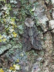 Brindled Green Dryobotodes eremita (Clive E Jones) Tags: christleton cheshire moths mothtrapping brindled green dryobotodes eremita