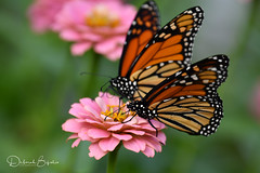 Double the fun. (Explored) (dbifulco) Tags: explored nature flowers garden insect migration monarchbutterfly newjersey pink two wildlife zinnia