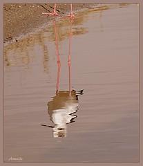 The  double !!! Le sosie !!! (Armelle85) Tags: extérieur nature eau lagune oiseau reflet échasseblanche