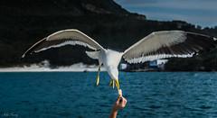 _RSP0085 (mfernandez.1992) Tags: nikon d7000 55300mm ave bird beach travel viaje playa río ríodejaneiro arraial do cabo lightroom