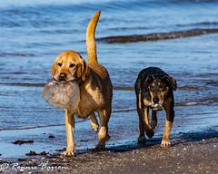 not a good idea Jake! (RCB4J) Tags: ayrshire clydecoast firthofclyde irvinebeach rcb4j ronniebarron scotland sonyslta77v sonydt18250mmf3563 art dogwalking dogs gundogs photography playing sand sea siameselurcher spaniel trailhound jellyfish stinging