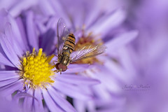 Autumn Hover (Jacky Parker Photography) Tags: hoverfly aster purple flowers autumn2018 autumnflowers autumngarden closeup fallflowers florafauna gardenwildlife beautyinnature freshness fragility brightlylit outdoors nopeople flowerphotography naturephotography nikond750 uk