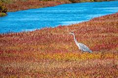 GBH at Hayward Regional Shoreline (lennycarl08) Tags: greatblueheron waterfowl birds ebparksok hayward haywardregionalshoreline california eastbay