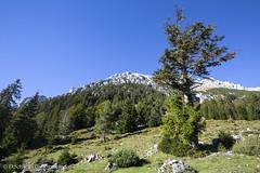Blick zum Scheffauer (schda22) Tags: scheffauwilderkaiser tirol berg baum tree mountain hiking wandern wald