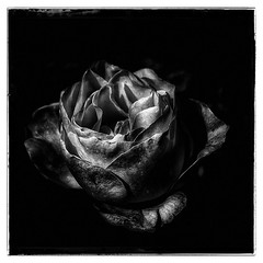 M... Rose (Ela F.) Tags: rose blackandwhite flowers