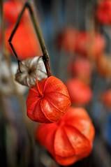 _DSC3422 (2) (cochrane.kathryn) Tags: autumn orange physalis close up