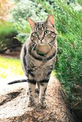 Zephyr's 5th Adoptiversary portrait (speech path girl) Tags: zephyr cat mycat tabby feline classictabby portrait petportrait pet
