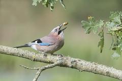 Jay (Garrulus glandarius) (phil winter) Tags: jay garrulusglandarius oaktree acorn
