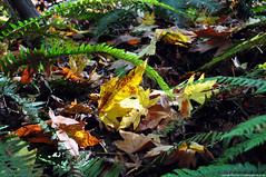 2018-10-10 Whistle Lake Trail 20 (03) (2048x1360) (-jon) Tags: anacortes skagitcounty skagit fidalgoisland sanjuanislands washingtonstate washington pnw pacificnorthwest salishsea pugetsound acfl anacortescommunityforestlands whistlelake lake hike hiking walk walking trail path 20 nikon nikond90 fall season maple mapleleaf leaf color colour tree woods forest a266122photographyproduction