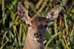 Hola k ase? (R.D. Gallardo) Tags: hola k ase ciervo bambi animal wild life vitoria salburua canon eos eos6d sigma 150500 raw retrato portrait robado