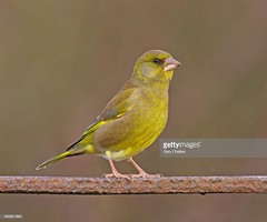 Greenfinch male (Gary Chalker, Thanks for over 3,000,000. views) Tags: finch greenfinch bird pentaxk5 pentax k5 pentaxfa600mmf4edif fa600mmf4edif fa600mm 600mm