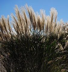 Autumn grass (sadrollieman) Tags: grass beach ny li autumn blue nikon d200 ccd color camera photography