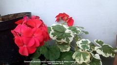 Geranium (Brilliant red & variegated Green & white) cuttings on balcony 15th October 2018 (D@viD_2.011) Tags: geranium brilliant red variegated green white cuttings balcony 15th october 2018
