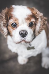 288/365 - Benji (Forty-9) Tags: benji cavalierkingcharlesspaniel spaniel portrait pet dogphotography dog monday photoaday 15thoctober2018 15thoctober october 288365 day288 project3652018 3652018 2018 365 project365 forty9 tomoskay lightroom ef50mmf18ii eflens eos60d canon