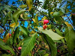Boj montes (Euonymus europaeus) (quintanAopio) Tags: árbol silvestre caderechas bureba burgos autóctono