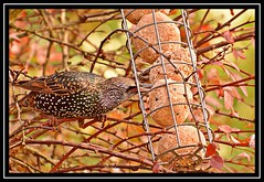 """Delvin' In..."" (NikonShutterBug1) Tags: nikond7100 tamron18400mm birds ornithology wildlife nature spe smartphotoeditor birdfeedingstation bokeh wings starling birdsfeeding"