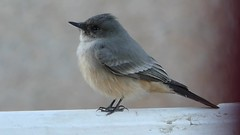 """Cute Whistling Adult Say's Phoebe at 7:00 AM in Ramona, California on October 16, 2018 (Ramona Pioneer Girl) Tags: birdinginsandiegocounty birdingincalifornia fall2018 october2018 sweet cute cry whimper whimpers votd videooftheday video bird flycatcher say'sphoebe panasonic lumix camera photograph photography lens f28 picture pictures kodak """"kodak moment"""" kodakmoment potd photo day trend trending current flickr nature natural moment moments candid usa 2018 water sky street historic town country east county clouds sun fun hobby interest interests ramona california photooftheday photographs fz300"""