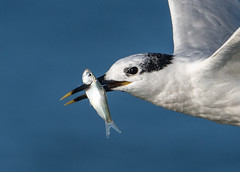 Spearfishing (PeterBrannon) Tags: bird fish florda florida nature sandwichtern tern thalasseussandvicensis wildlife catchingfish feeding ocean spearfishing fishing