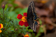 Black Swallowtail On A Marigold (nikons4me) Tags: blackswallowtail marigold iowa ia butterfly nikond70 tamronaf70300mmf4056ldmacro