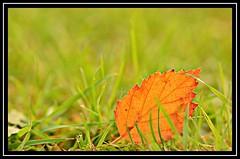 """New Beginning..."" #2 (NikonShutterBug1) Tags: nikond7100 tokina100mm nature wildlife bokeh spe smartphotoeditor closeup macro leaf autumn fall flora brown 2dwf newbeginning foliage"