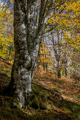 Selva de Irati (cruzjimnezgmez) Tags: coloresdeotoño otoño arbol españa navarra naturaleza irati selva bosque