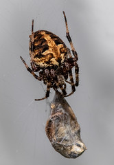 Trick or Treat (tresed47) Tags: 2018 201809sep 20180928homemacro canon7dmkii chestercounty content folder home insects macro pennsylvania peterscamera petersphotos places season september spider spiderunidentified summer takenby technical us