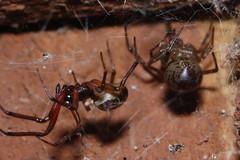 Steatoda nobilis pair (Arachtober 20) (Procrustes2007) Tags: spider steatoda arachnid arachtober steatodanobilis male female macro nikond50 sudbury suffolk uk