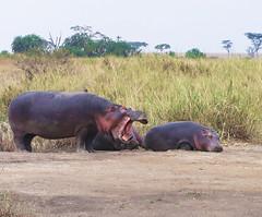Wake up ! (JFGryphon) Tags: hippos serengetinationalpark tanzania sleepy throwtheirweightaround haveaheartmum ionlyjustdroppedoff suzie littlesuzie