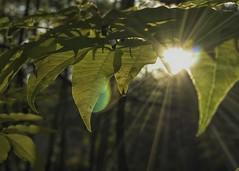 Sunburst (Mr.LeeCP) Tags: autumn fall park tree leaves