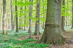 Bosques en el norte de Alemania (★ Angeles Antolin ★) Tags: baltic germany ostsee sea forest wald nature