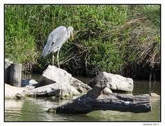 2017-05-15_Héron Cendré-0026.jpg (Hacheme 26) Tags: natureetpaysages héron oiseaux animaux saintesmariesdelamer provencealpescôtedazur france fr