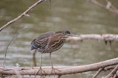 Green Heron (rdroniuk) Tags: birds waterbirds shorebirds heron greenheron butoridesvirescens héron héronvert oiseaux oiseauxdeau