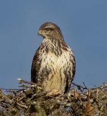 Common Buzzard (xDigital-Dreamsx) Tags: hawk birdofprey raptor wildlife countryside country rural bird avian naturephotography coth5 coth