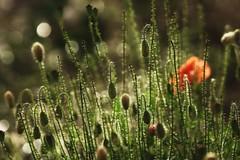 *** (pszcz9) Tags: przyroda nature natura naturaleza zbliżenie closeup beautifulearth sony a77 mak poppy bokeh