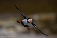 Puff of air (Khurram Khan...) Tags: atlanticpuffin queens seaandshorebirds conservation naturephotography birdphotography birds color flight khurramkhan wwwkhurramkhanphotocom nikonnofilter iamnikon