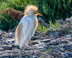 Cattle egret (Bubulcus ibis)-1498 (George Vittman) Tags: bird egret heron cattle nikonpassion wildlifephotography jav61photography jav61 fantasticnature ngc